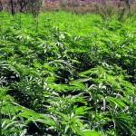 Localizan más de 80 mil plantas de marihuana en Jalisco