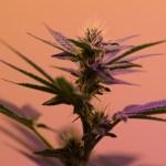 La anatomía de la planta de marihuana