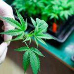 Fabricante de Marlboro invierte 1,600 millones de dólares en marihuana