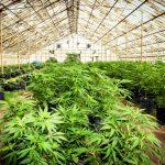 Empresa canadiense invertirá $40 millones de dólares en productora colombiana de cannabis