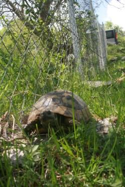 Баница костенурка (снимка Румен Жерев)