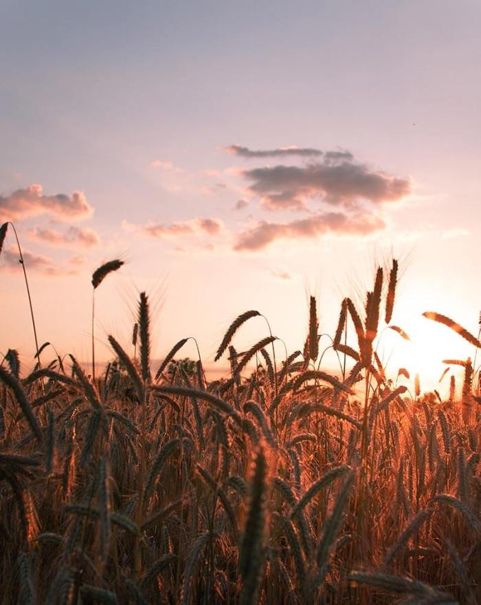 Sonnenuntergang im Getreidefeld in der Bornimer Feldflur