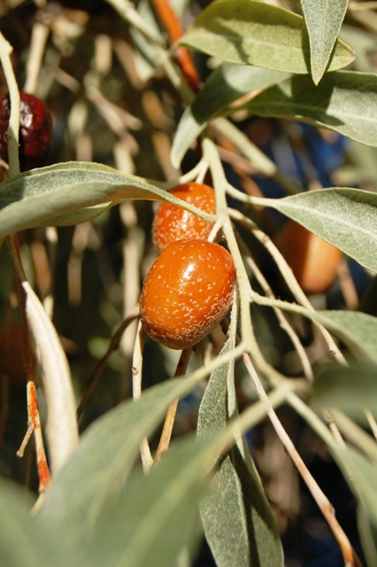 """""""Russian Olive"""" with copper fruit. I've never seen that before."""