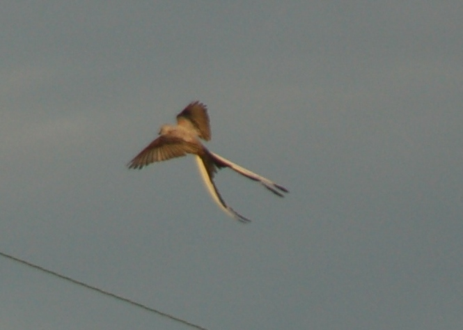 Scissortail Flycatcher in flight -- click photo to enlarge.