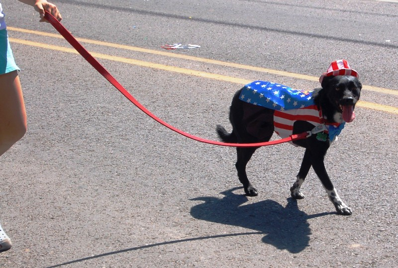 Dogs and horses, especially horses are always dressed up for the occasion.