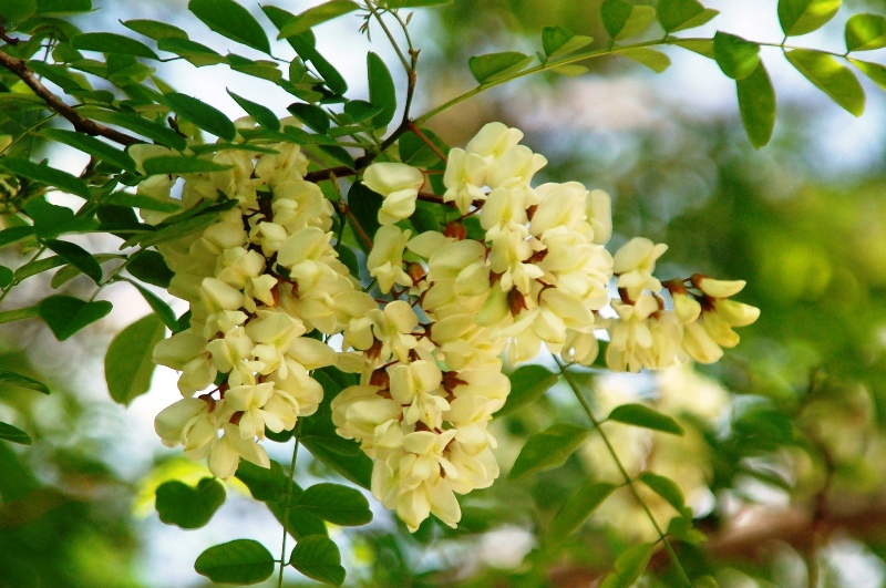 DeSmet was full of these giant locust trees whose blossoms had a most pleasing scent.