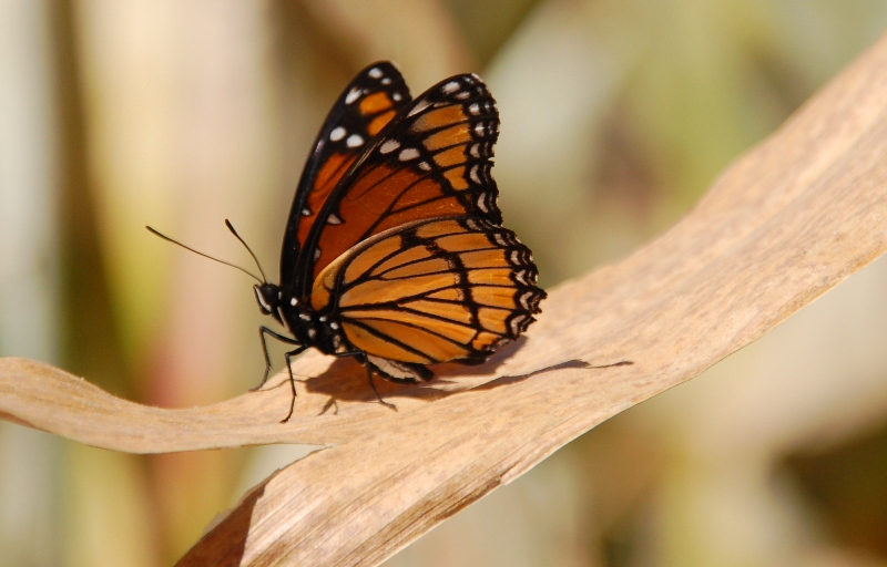 I believe this is a Viceroy butterfly. If I had a butterfly book I would look up its range. I know Monarchs; I grew up where they were abundant, and have several pictures of them, and this one just did not look exactly like a monarch to me. Please correct me if I am wrong.