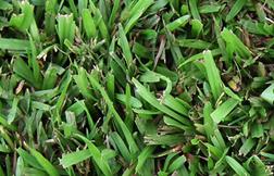 carpet_grass_web