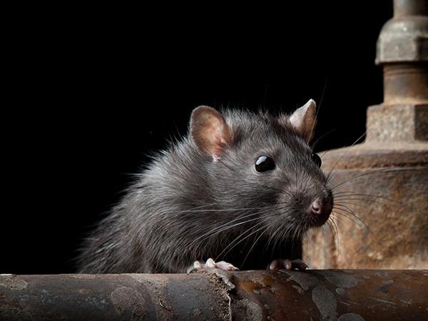 Ele Homenageou um Rato