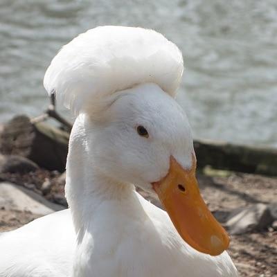 canard huppé