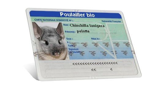 carte identité chinchilla