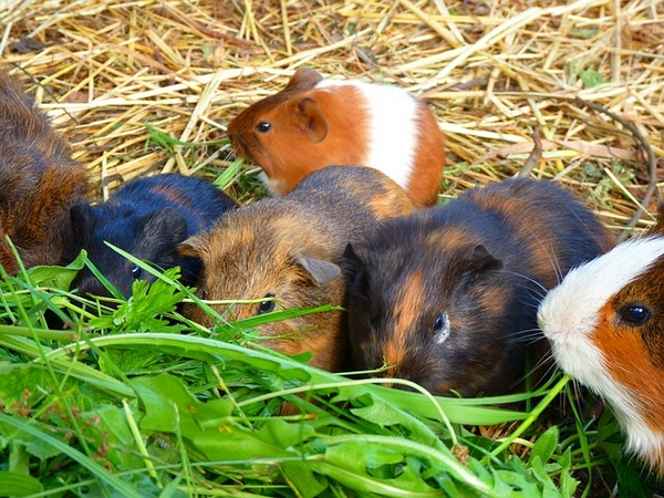 cochons d'inde dans un élevage