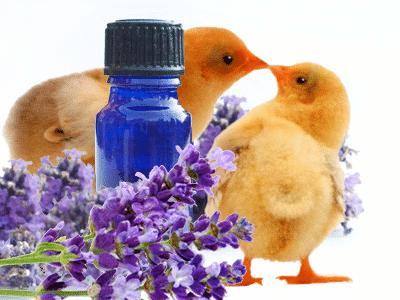 huile essentielle pour soigner les volailles