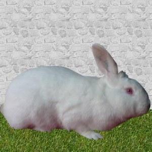 lapin Blanc de vendée