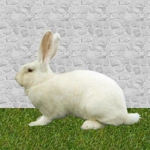 lapin NeoZélandais blanc