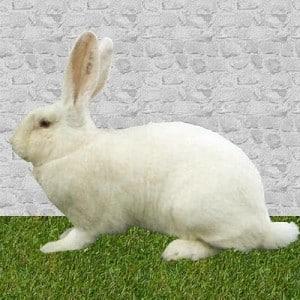 lapin géant blanc du bouscat