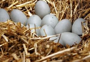 oeufs dans nid de cane