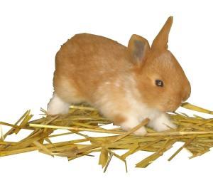 petit lapin d'élevage