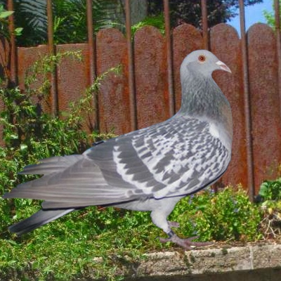 pigeon bagadais
