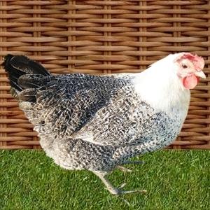 poule bresse-gauloise
