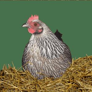 poule couvant des oeufs de caille