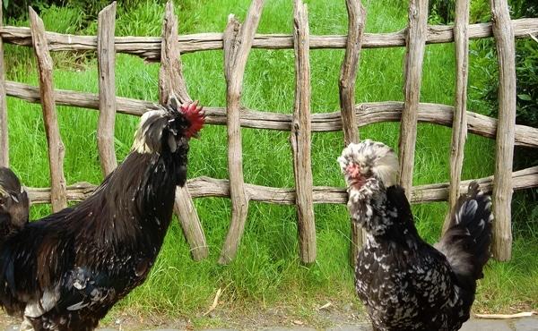 poule et coq de padoue