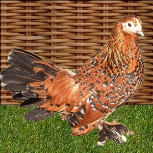 poule naine Sabelpoot