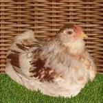 poule naine améraucana