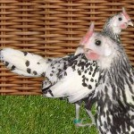 poule naine  hambourg