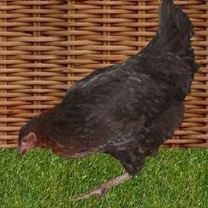 poule poule de marans