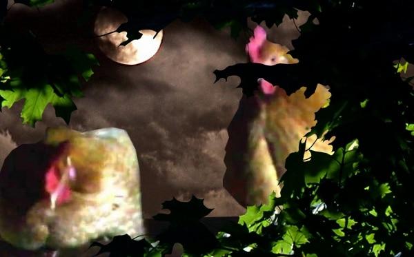 poule sous le clair de lune
