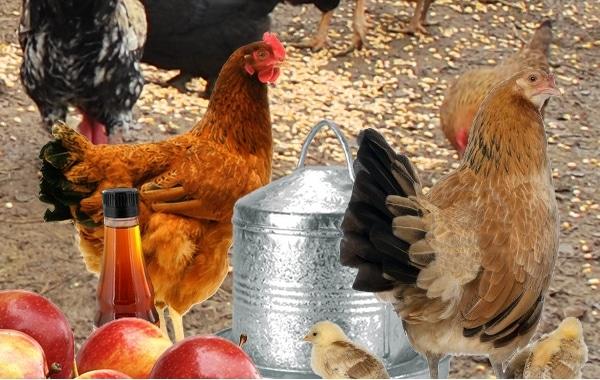 vinaigre de cidre pour les poules