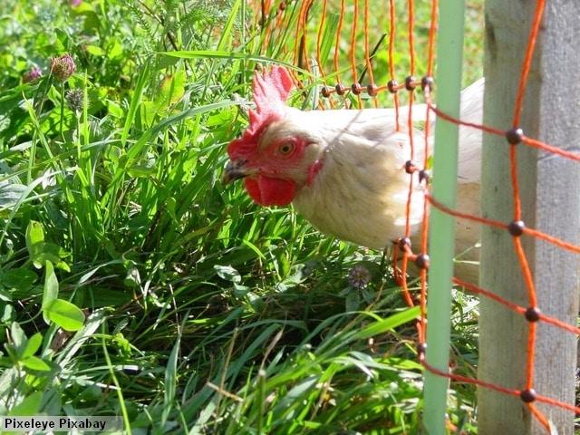 véritable filet pour poules et volailles
