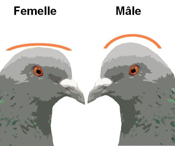 Recoannaissance du sexe du pigeon par la forme de la tête