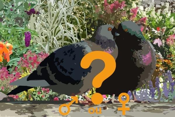 pigeons mâle ou femelle