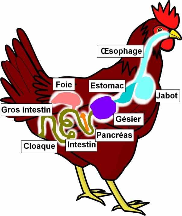 Appareil digestif de la poule