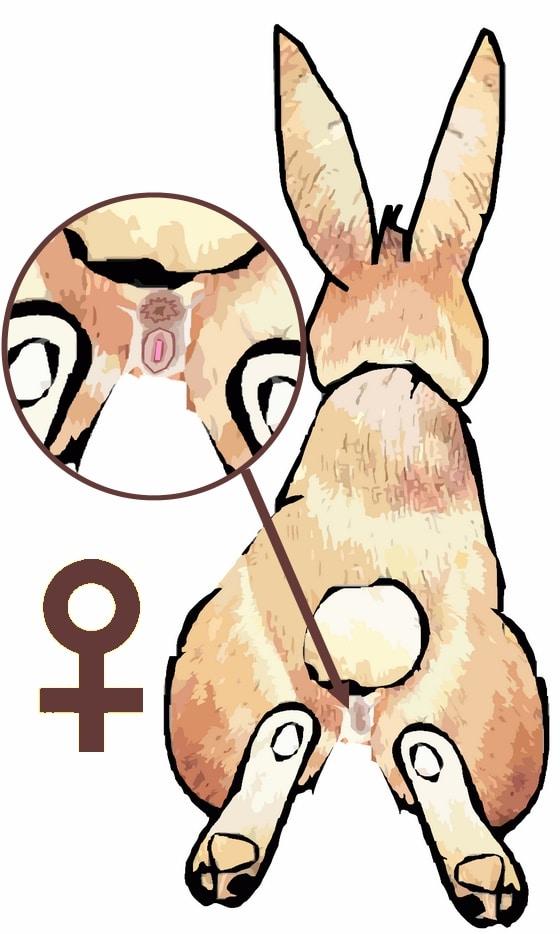 reconnaitre sexe lapin femelle