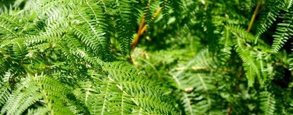 fougères fraiches en vert