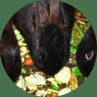 mauvaise distribution des aliments aux lapins
