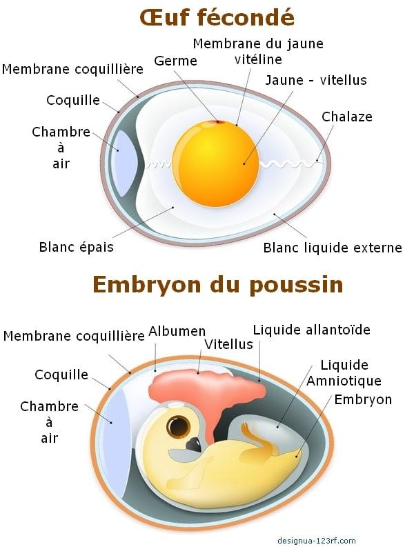 developement de l'embryon de poussin dans l'oeuf pendant l'incubation