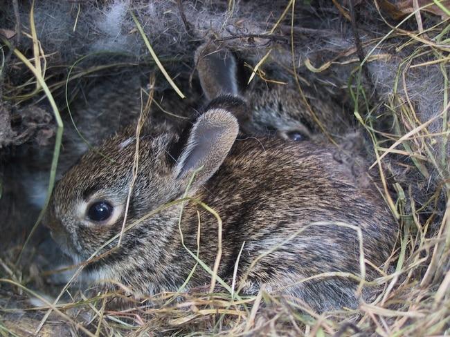 nid de lapin