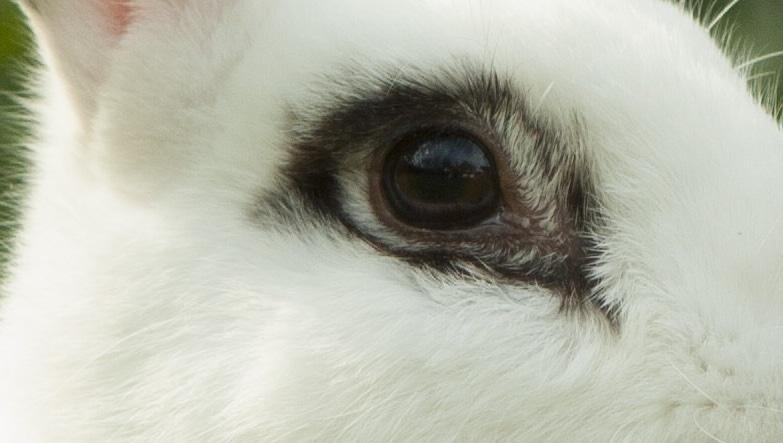 oeil du lapin blanc de hotot