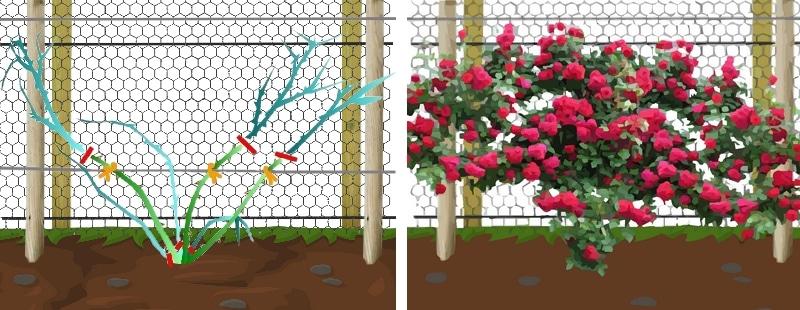 plantation d'un rosier grimpant autour du poulailler