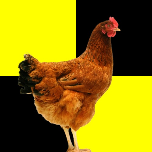 poule avec drapeau lima (qarantaine) en arrière plan