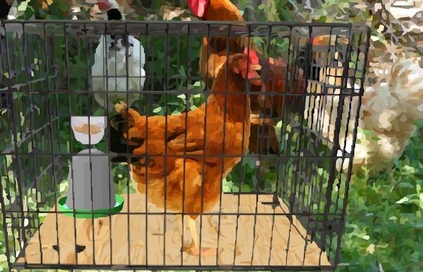 poule dans une cage pour éviter de couver