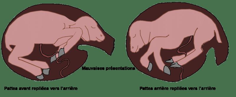 mauvaises-presentations-du-chevreau-lors-de-la-mise-bas