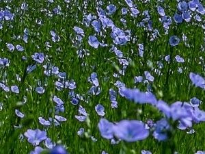 champ-de-lin-en-fleurs-2