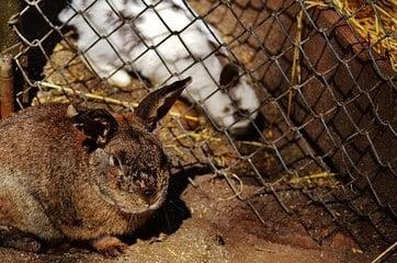 lapins dans un clapier