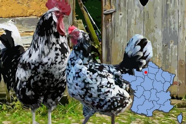 poule et coq gournay