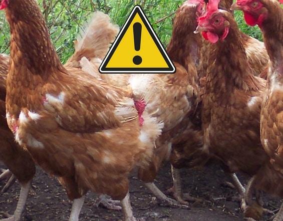 le confinement des poules cause perte des plumes